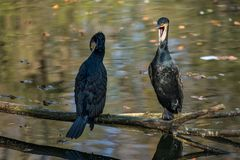 The great cormorant, Phalacrocorax carbo drying his feathers. royalty free stock images