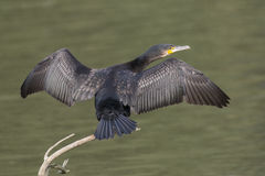Great Cormorant Stock Photography