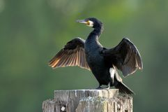 Great Cormorant (Phalacrocorax carbo) drying wings Royalty Free Stock Images