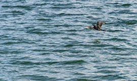 The great cormorant, Phalacrocorax carbo flying over Draycote Waters Lake in united kingdom Stock Images