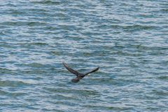 The great cormorant, Phalacrocorax carbo flying over Draycote Waters Lake in united kingdom Royalty Free Stock Photography