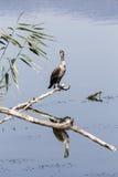 Great Cormorant Phalacrocorax carbo Stock Photo