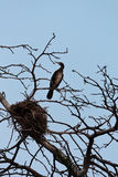 Great cormorant. The Great cormorant (Phalacrocorax carbo) and his nest in the tree stock image