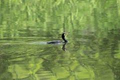 Great Cormorant Stock Photography