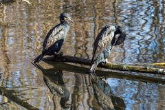 The great cormorant, Phalacrocorax carbo drying his feathers. stock image
