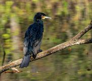 The great cormorant, Phalacrocorax carbo drying his feathers. stock photo