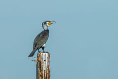 Great Cormorant (Phalacrocorax carbo) Stock Image