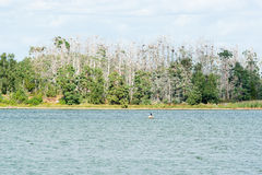 Great cormorant (Phalacrocorax carbo) nests Stock Image