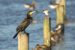 Great Cormorant Stock Images