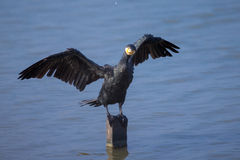 Great Cormorant (Phalacrocorax carbo) perching on wood Royalty Free Stock Photo