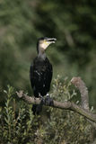 Great Cormorant, Phalacrocorax carbo Royalty Free Stock Photography