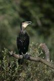 Great Cormorant, Phalacrocorax carbo Royalty Free Stock Photography