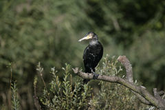 Great Cormorant, Phalacrocorax carbo Royalty Free Stock Images