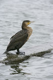 Great cormorant, Phalacrocorax carbo Stock Images