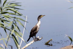 Great Cormorant Phalacrocorax carbo Stock Photography