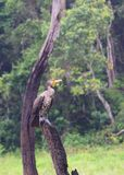 Great Cormorant - Phalacrocorax Carbo - Sitting on Wood in Periyar National Park, Kerala, India. This is a photograph of Great Cormorant, also known as large royalty free stock photo