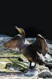 Great cormorant or Phalacrocorax Stock Image