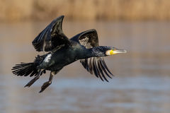 Great Cormorant (Phalacrocorax carbo) Royalty Free Stock Image