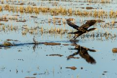 Great cormorant Phalacrocorax carbo taking off in a rice field in the natural park of Albufera, Valencia, Spain. Perfect and stock photography