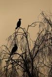 Great cormorant, Phalacrocorax carbo Royalty Free Stock Image