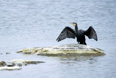 Great Cormorant (Phalacrocorax carbo) drying wings. The Great Cormorant (Phalacrocorax carbo) in a typical view drying its wings on an islet stock image