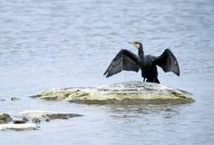 Great Cormorant (Phalacrocorax carbo) drying wings Stock Image