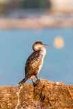 Great Cormorant (Phalacrocorax lucinus) Stock Image
