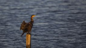 Great Cormorant on Pole. Great cormorant Phalacrocorax carbo is standing on pole in the middle of the sea Royalty Free Stock Photos