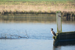 Great Cormorant on pole Stock Photography