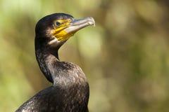 Great Cormorant Portrait Stock Image