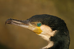 Great cormorant. A portrait of a Great cormorant Stock Photo