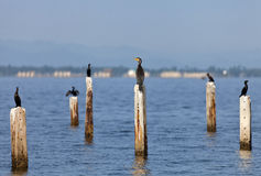 A Great Cormorant on post Royalty Free Stock Image