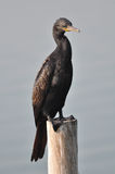 A Great Cormorant on post at The Laem Phak Bia Environmental Stu Royalty Free Stock Photo
