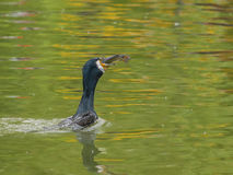 Great Cormorant with prey Stock Photo
