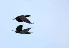 Great Cormorant reflection on water Stock Images