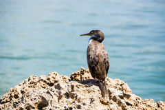 Great Cormorant. Cormorant resting on a rock Stock Photo