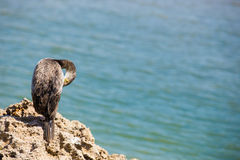 Great Cormorant. Cormorant resting on a rock royalty free stock image
