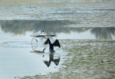 Great Cormorant running after Grey Heron Royalty Free Stock Photography