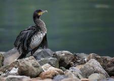 Great Cormorant in Seydisfjordur Royalty Free Stock Photo