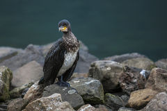 Great Cormorant in Seydisfjordur7 Royalty Free Stock Photo