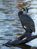 The Great Cormorant stock images