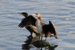 Great Cormorant spreading wings Royalty Free Stock Photos