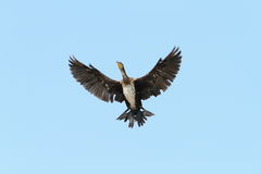 Great cormorant spreading wings over blue sky Royalty Free Stock Photo