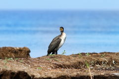 Great cormorant standing on floating reed islet Royalty Free Stock Photos