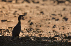Great cormorant on sunset Stock Photography
