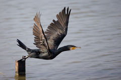 Great Cormorant take off Stock Photo