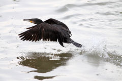 Great cormorant takeoff Stock Image