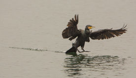 Great Cormorant Taking Down Royalty Free Stock Images
