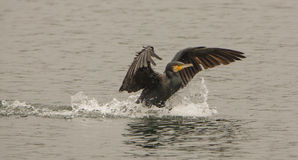 Great Cormorant Taking Down Stock Photo