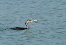 Great Cormorant tossing fish Royalty Free Stock Photos